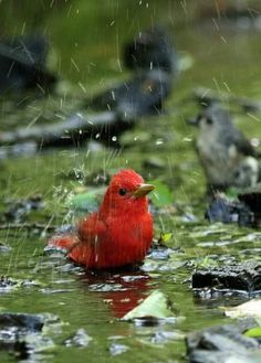 Redbird in the rain