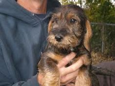 wirehaired teckel dachshund -
