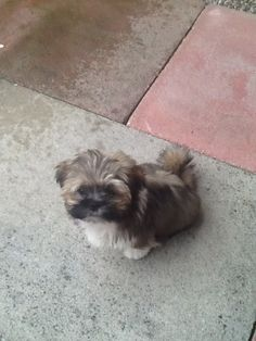 My new Lhasa Apso puppy Teddy