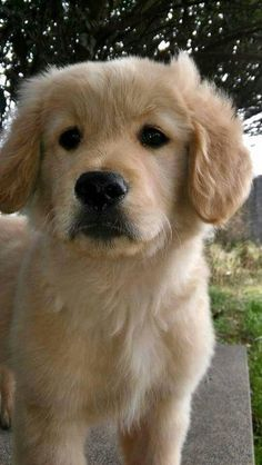 beautiful Golden Retriever pup <3