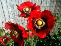 Red heirloom poppies    growing poppies