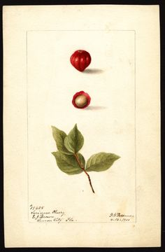 Artist:     Passmore, Deborah Griscom, 1840-1911  Scientific name:     Eugenia uniflora  Common name:     Surinam cherry  Geographic origin:     Lemon City, Dade County, Florida, United States  Physical description:     1 art original : col. ; 17 x 25 cm.  Specimen:     19425  Year:     1900  Date created:     1900