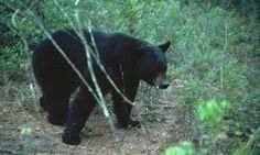 Wildlife authorities say hunt had neared official objective of 320 bears with more than 3,200 hunters having bought licenses to participate