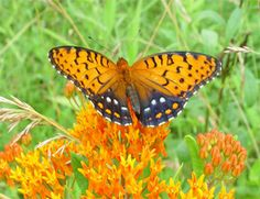 Visitors are invited to see the only population of rare Regal Fritillary butterflies in Pennsylvania on four days in June and July of 2012 at Fort Indiantown Gap, near Annville, Lebanon County. More details on the tours @ http://j.mp/L3DPxE
