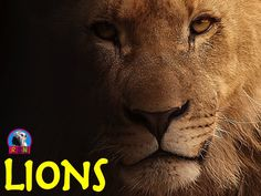 Lions PPT: Interesting and fun facts all about lions. Learn about the king of the jungle in this nonfiction resource for teachers, students, and parents! Challenge the kids with some higher level thinking activities designed to hone problem solving skills. by Nygren Resources (photo by  Sponchia here - https://pixabay.com/en/lion-portrait-animal-portrait-face-617365/