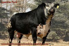 SPECKLE PARK Cattle Farming, Livestock, Large Animals, Animals And Pets, Breeds Of Cows, Cow Cat, Mini Cows, Bucking Bulls, Sheep Pig