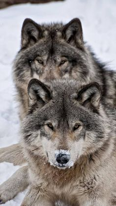 Find images and videos about snow and wolf on We Heart It - the app to get lost in what you love. Wolf Photos, Wolf Pictures, Animal Pictures, Beautiful Creatures, Animals Beautiful, Cute Animals, Wolf Spirit, My Spirit Animal, Tier Wolf