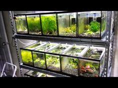 Quick video on freshwater dwarf shrimp. Why I like them, what type I have, and general care requirements. Aquariums, Aquarium Design, Aquarium Ideas, Fish Tank Design, Betta Aquarium, Shrimp Tank, Fish Breeding, Pet Cage, Freshwater Aquarium