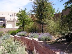 Abq West Mesa residence - rear to N in spring with sandstone retaining wall, Escarpment Live Oak, Arizona Beargrass, Blue Sotol, Catmint (QUERCUS, 1998)