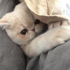 おはようございマッシュ! 恒例の赤ちゃんシリーズ。 1年前はスコティッシュ だったんだよ。 #そんな訳ないわ #興奮してるだけやろ #マンガ顔 #mash1126a #cat #マッシュ #エキゾチックショートヘア #ねこ #ネコ #猫 #kitty #neko #猫部 #ねこ部 #ねこあつめ #にゃんだふるらいふ #猫莫迦 #catstagram #ExoticShorthair #catsofinstagramるらいふ #猫莫迦 #catstagram #ExoticShorthair #catsofinstagram