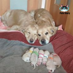 Golden Retriever Parents Watching Over Their Newborn Puppies - Funny Animals Super Cute Animals, Cute Funny Animals, Cute Baby Animals, Animals And Pets, Cute Cats, Newborn Puppies, Baby Dogs, Cute Animal Videos, Cute Animal Pictures