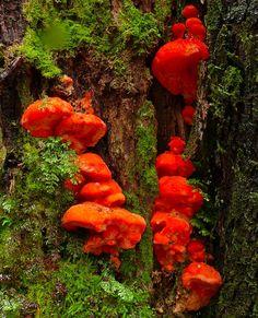 Strawberry Bracket Fungus (Aurantiporus pulcherrimus), Lake Dobson, Tasmania ~ © Mark Hanna