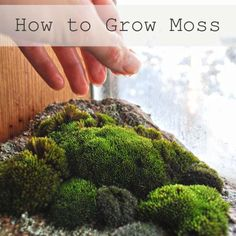 painted or poured onto the substrate of your choice. Be sure to give your milkshakeconcoction plenty of misting and you should be growing moss within three wee