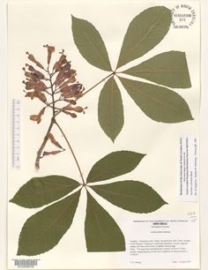 Aesculus_sylvatica,Resources for Botanical Sketchbooks, , Resources for Art Students at CAPI::: Create Art Portfolio Ideas milliande.com, Art School Portfolio Work, , Botanical, Flowers, Plants, Leaves,Stem Seed, Sketching, Herbarium