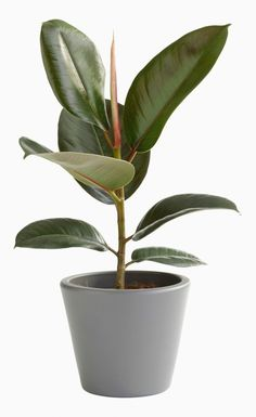 If you're attempting to grow houseplants indoors, you will find that a few rooms of your home are low in natural light. Houseplants are a few of the f. Easy House Plants, House Plants Decor, Indoor Trees, Best Indoor Plants, Ficus, Rubber Tree, Rubber Plant, Plantas Indoor, Bonsai Seeds