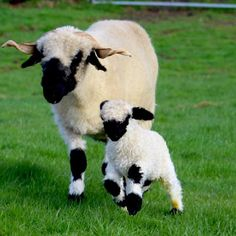 Valais Blacknose Sheep, Whitehall, Dumfries and Galloway