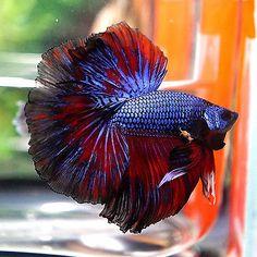 Betta-Male-Deep-Blue-Red-Sky-Hawk-Rosetail Halfmoon Betta Tank, Betta Fish, Fish Tank, Siamese Fighting Fish, Green And Purple, Retro, Deep Blue, Snowflakes, Tattoo Ideas