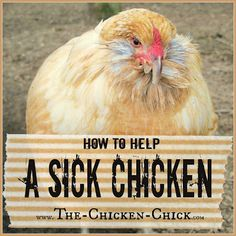 How to care for a sick chicken