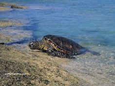 Green Sea Turtle (Chelonia mydas) 'hauling out' at Puako, Hawaii - photo by B N Sullivan for TheRightBlue.com