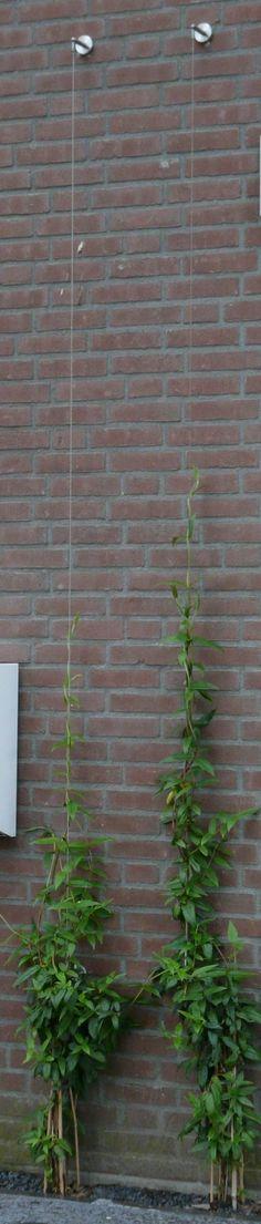 klimplant Lonicera henryi (kamperfoelie), groen leerachtig smal blad, half wintergroen, heerlijk geurend, opbinden tegen draadkabel (van Ikea)