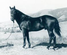 """Known as """"Speedy"""" to ropers for years, the handsome bay stallion is known to the history books as Driftwood. Driftwood was inducted into the Hall of Fame in 2006. Learn more about the AQHA Hall of Fame inductees at http://aqha.com/Foundation/Museum/Hall-of-Fame/Hall-of-Fame-Inductees.aspx ."""