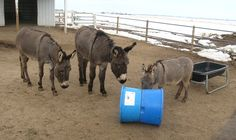 Toys for Donkeys   Donkeys are sometimes labeled as stupid whenthe truth is that they are complex thinking animals. Because they are thinkers, they get bored very easily. A bored donkey will look for anything to play with.    The solution is to have plenty of toys on