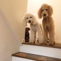 お見送り。ペコ。ニコ。クー。 #スタンダードプードル #スタンプー #トイプードル #トイプー #お見送り#待っててね #お留守番 #犬多頭飼い #仲良し #standardpoodle #stanpoo #toypoodle #toypoo #doglover #dogstagram