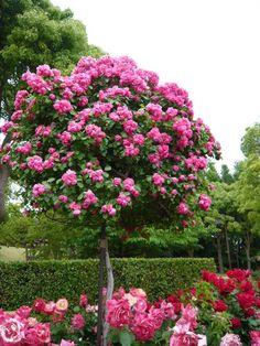 Best Climbing Roses | rose angela | climbing rose