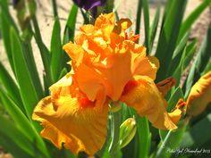 Orange Iris. PolkaSpot Homestead. 2013.