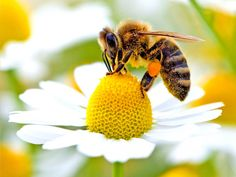 Wild Bees Are In Low Numbers In Crucial Areas