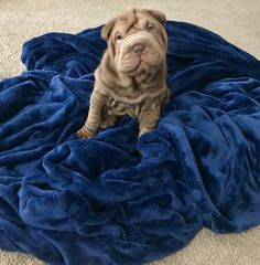 Shar Pei Puppies, Dogs And Puppies, Big Dogs, Cute Dogs, Shar Pei Fever, Animals And Pets, Cute Animals, Chinese Dog, Chow Chow Dogs