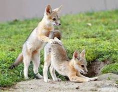 Image result for baby foxes