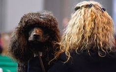 It is often suggested that dogs and their owners tend to look alike...Irish Water Spaniel 'Darcey' is groomed by owner Kelly Harris of Weston Super Mare