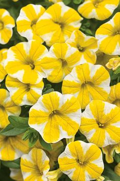 Anyway you slice it, Superbells 'Lemon Slice,' from Proven Winners, adds pinwheels of white and yellow to your garden palette. Just put them in a sunny spot and watch them grow. Click through to see more good options for adding color to your garden.