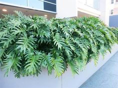 Xanadu is a perfect plant for an outdoor tropical garden. The large distinctive lobed leaves form lush green layers to create a well structured, compact and tidy look which will add a cool ambience to any garden or patio. #patioGarden