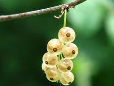 까치밥 나무, 미숙한, 부시, 장과, 구세 온실, 건포도, 딸기, 성장, 과일, 부드러운 과일