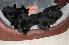 schipperke dog photo | Dog Photo Of The Day: Bed Of Schipperke Puppies | Dog Reflections
