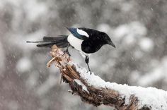 the good old magpie.....