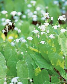 In early May, when other perennials are just awakening, Epimedium x. setosum sends up charming blooms in white. Though their flowers are delicate, epimediums are hardly frail. They're virtually carefree, and take well to dry shade -- something that very few plants do with ease.