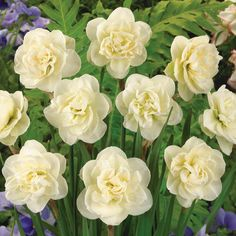 Narcissus 'Rose Of May' Best fragrant daffodil Delight your senses with this compact, late-blooming daffodil. This distinctively different variety produces fully double whorls of ivory white petals that resemble gardenias, and exude a most delicious fragrance.
