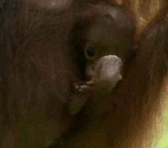 Bebé orangután