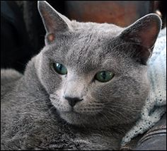 Lukas Alekseyev - father to our young Russian Blue male.
