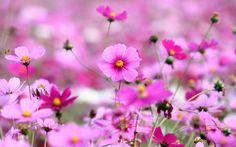 лепестки, космея, розовые, растения, поле, природа, поляна, цветы, яркие, трава…