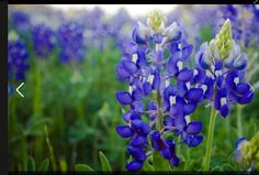 I love Texas blue bonnetts