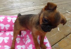 Smooth Brussels Griffon puppy, Ruby Tuesday <3 ~ Somershire Kennel~