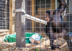 Solo: Louie is alone in the primate enclosure at the DeYoung Family Zoo in Wallace, Michigan, where Tommy is registered as being. The zoo declined to discuss his whereabouts