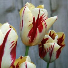 Grand Perfection - Rembrandt Tulip Flower Bulbs Another variety that looks like Semper Augustus, famous for being the most expensive tulip sold during tulip mania. But the expensive tulips of the 1600s we now know were a result of a virus that eventually kills the bulb.
