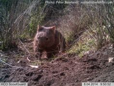 This image of a Common #Wombat returning to its den after a night out, was #captured on our Wombat Cam #aus_wildlife