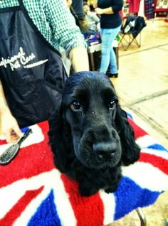 Dog show with Missy! CAC winner english cocker spaniel