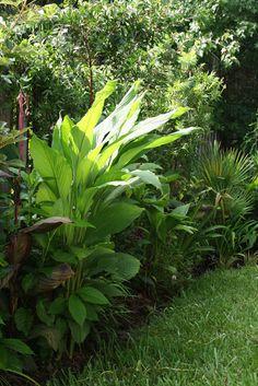 The Rainforest Garden: How to Grow Turmeric